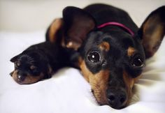 """Receive excellent pointers on """"Miniature pinschers"""". They are actually offered for you on our site. Chihuahua Puppies, Baby Puppies, Cute Puppies, Cute Dogs, Dogs And Puppies, Doggies, Mini Pinscher, Miniature Pinscher, Doberman Pinscher"""