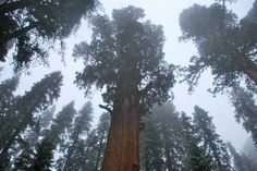 Sequoia Redwood Trees, King's Canyon, CA. Places Ive Been, Beautiful Things, Trees, Spaces, Plants, Flora, Plant, Wood Illustrations, Wood