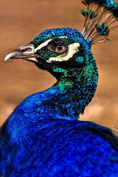 Peacock - ©Brian Mollenkopf (via FineArtAmerica)