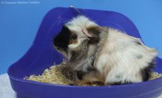 Use these suggestions to help with training guinea pigs to use a litter box.