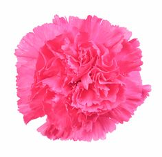 45 best hot pink flowers images on pinterest hot pink flowers hot pink carnation flower brides and bridesmaids mightylinksfo