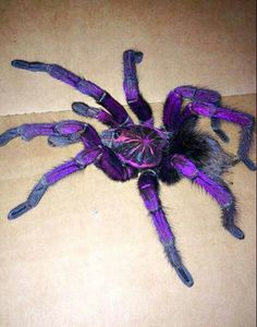 Purple tarantula Pamphobeteus sp. machalla (Purple Bloom Tarantula)