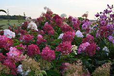 Bois des Dames : hydrangea vanille fraise Hydrangea, Photos, Nature, Plants, Gardens, Picasa, Woodwind Instrument, Pictures, Naturaleza
