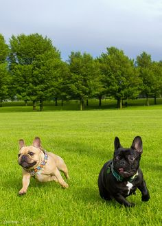 """Wheeeee, now go that way!"", Running French Bulldogs."