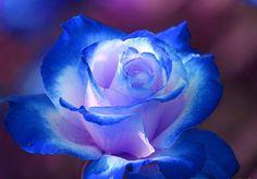 Blue Rose.......