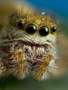 Jumping Spider (Dendryphantes Rudis) ~ By Fredrik Tegnér