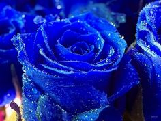 Blue Rose Flower Seeds a symbol of love Price for Package of 5 seeds. A bouquet of blue roses is an unforgettable experiencefor your loved one. Photo Bleu, Photo Rose, Blue Roses Wallpaper, Flower Wallpaper, Hd Wallpaper, Desktop Wallpapers, Wallpaper Plants, Hd Backgrounds, Beautiful Wallpaper