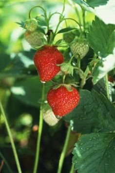 Growing Strawberries With Hydroponics
