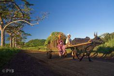 charrette de zébus à Madagascar