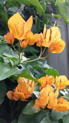 Orange Bougainvillea                                                       …