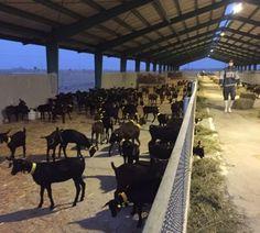 UPA urge al Gobierno murciano el pago de las ayudas 2016 de la PAC del ovino y caprino