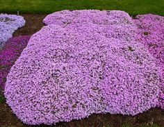 Perennials from Chicagoland Grows : Running With Scissors Phlox