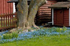 Idänsinililja kukkii kauniina mattona, kuhan sipuleita on tarpeeksi.