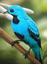 Lovely Cotinga (Cotinga amabilis)