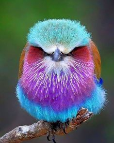 A colorful bird called the Lilac-breasted roller Fast Crazy Nature Deals. Colorful Animals, Colorful Birds, Nature Animals, Exotic Animals, Tropical Birds, Animals Images, Cute Birds, Pretty Birds, Beautiful Creatures