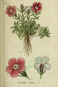 flowers-14230 - dianthus alpinus [2054x3042]