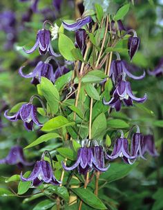 Clematis 'Fascination'. Purple bell flowers.