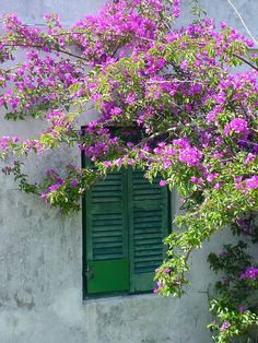Bouganvilla in Bermuda. Pin provided by Elbow Beach Cycles http://www.elbowbeachcycles.com