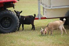 Oliver(black) and Olivia(tan) pygmy goats