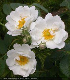 Rose alba semi-plena, so fragrant it's raised to create attar of roses in Bulgaria. Bulgaria must smell like heaven. Beautiful Roses, White Flowers, Beautiful Flowers, Rose Hedge, Heritage Rose, Heirloom Roses, One Rose, Growing Roses, Hybrid Tea Roses