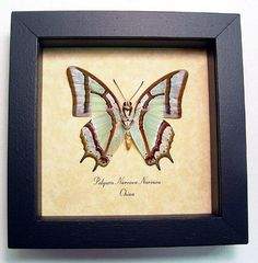 Real Sage Green Polyura Framed Butterfly Display 441