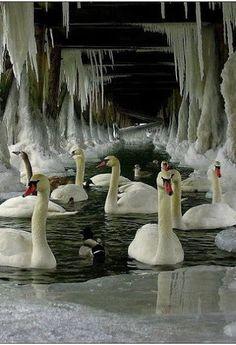 Swans under a frozen pier.