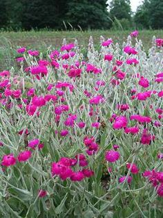 ROSE CAMPION. Wooly leaves and deep red flowers