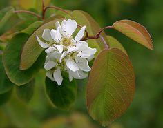 Saskatoon or serviceberry flowers (Amelanchier alnifolia)