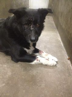 NEXT on DEATH ROW - please don´t hesitate, this shelter kills very fast --- This poor dog was beaten (has open wounds on his legs) and then dumped into a high kill shelter. PLEASE SHARE, FOSTER, ADOPT. PLEASE HELP! Located at Odessa Shelter, Texas