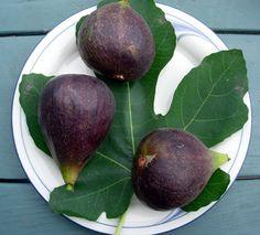 VIOLETTE DU BORDEAUX FIG (Negronne) (Ficus carica)