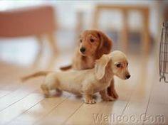 sausage dog puppies :)