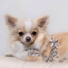 Chilli the Chihuahua wears the 'Harmony' Necklace Bridal Necklace, Chihuahua, Pendants, Australia, How To Wear, Wedding, Style, Bride Necklace