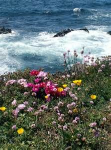 Wildflowers at the California Coasts on the Pacific Ocean
