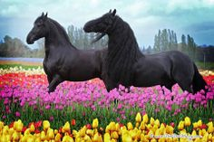 Happy Friesians
