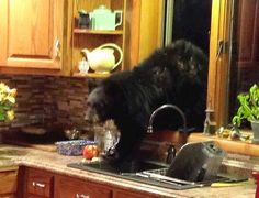 Only In Montana October 17 · Vicki Chapman Kottas caught this bear cub coming into her kitchen Monday night. She'd been camping in Bear Country for days without seeing any, but this up-close and personal viewing came after she returned home that morning. Big Sky Country, Country Life, Montana Homes, Bear Mountain, Bear Art, Bear Cubs, Woodland Creatures, Black Bear, Animal Kingdom