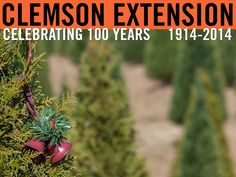 Tree tip: If your tree has been cut for more than one hour, recut at least one inch from the trunk and place the tree in plain water immediately. If you are not going to take the tree inside until later, store the tree out of the wind and sun in an unheated sheltered area such as a garage or porch. #ClemsonExt100