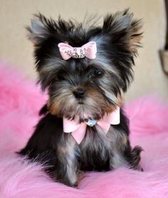Here are some images that you can get idea about Yorkie Hairstyles or Yorkie Haircuts. As a Toy dog miniature yorkshire terrier can dress up with beautiful Micro Teacup Yorkie, Teacup Puppies, Pug Puppies, Terrier Puppies, Little Dogs, Yorkies, Pomeranians, I Love Dogs, Cute Dogs