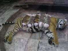 A mother tiger lost her cubs due to premature labour. Shortly after, she became depressed and her health declined. She was later diagnosed with depression. Since tigers are endangered, every effort was made to secure her health. Zoologists wrapped piglets up in tiger-print cloth, and presented them to the mother tiger. She now loves these piglets and treats them like her own. And needless to mention, her health is back on track.