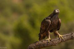 https://flic.kr/p/Qdrc8X | Mirada dorada / Golden look | Una de las rapaces mas majestuosas y bellas, el Águila real.    One of the most majestic and beautiful raptors, the Golden Eagle.  Águila real  Golden eagle  Aquila chrysaetos