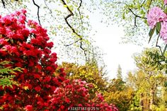 """""""Beautiful, old park with azalea trees"""" Stock photo and royalty-free images on Fotolia.com - Pic 31837343"""