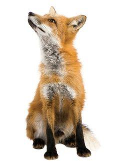 Dieren muursticker vos