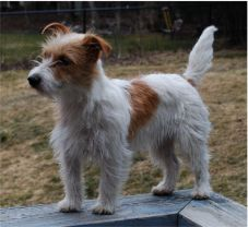 english jack russell terrier (broken coat) Fiesty breed, but loving and lots of fun