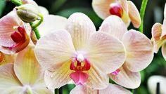 Jak se starat o sedm nejrozšířenějších druhů orchidejí...