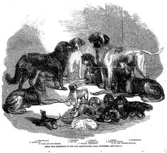 PRIZE DOGS EXHIBITED AT THE NEW AGRICULTURAL HALL, ISLINGTON.—SEE PAGE 13 . The Penny Illustrated Paper (London, England), Saturday, July 05, 1862