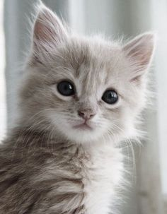 Cucciolo di gatto chiaro a pelo lungo: un amore di micetto da coccolare per ore! Scopri quali amici abbiamo in negozio!