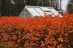 Aronia prunifolia/Svart aronia