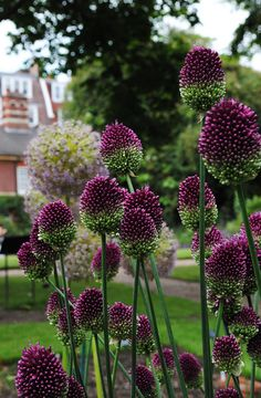 Allium Spaerocephalon - a different allium for the perennial garden.