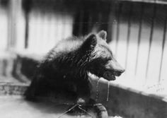 The Sharp's Park once had a small zoo. This is one of the animals who lived there. Jackson Michigan, Black Bear, Lions, The Past, Creatures, Park, History, Cities, Historia