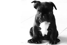Bulldog frances Yo quiero uno!!!