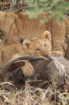 South Africa : cub eating coudou just after hunting